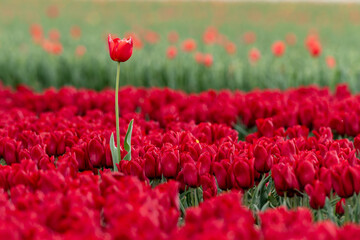 field of red tulips with one tulip above all others