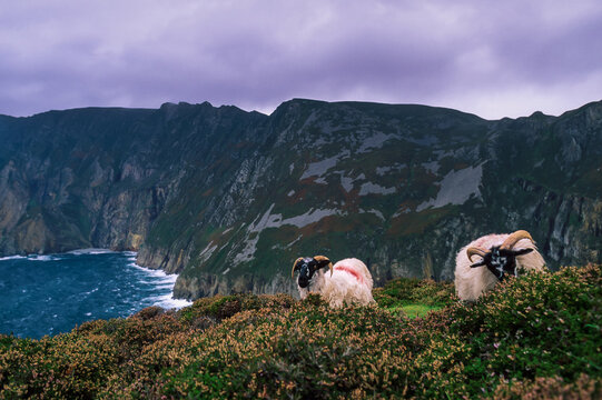 Scottish blackface sheeps with red paint on the top of the Slieve League cliffs (Repuplic of Ireland).