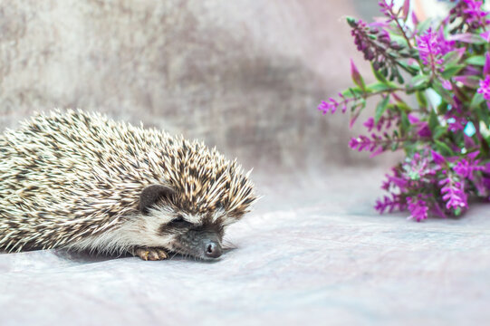 African hedgehog on a gray background with flower