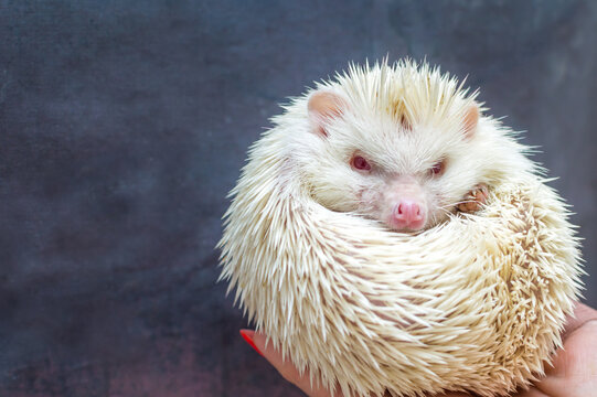 African hedgehog albinos on a gray background close up