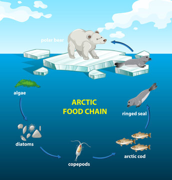 Circle of arctic food chain