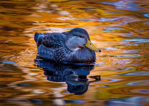 Duck enjoying a swim in a pond on a very beautiful autumn day in late October. The waters have a golden glow from the bright sun overhead.
