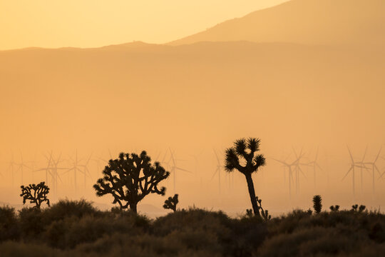 The silhouette of Joshua Trees in the wilderness outside of Mojave, California during sunset.