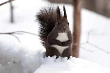 雪の上で立ち上がる野生のリス