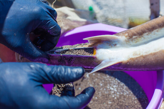 Obtaining caviar from sturgeon while preserving the life of producers on a fish farm