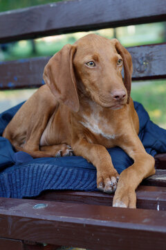 Close Up Puppy of Hungarian Short Haired Vizsla