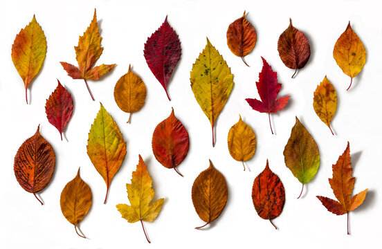 Various autumn leaves isolated