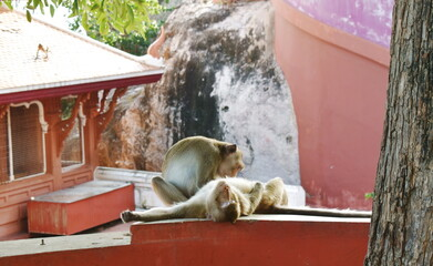 long tail macaque monkey catching flea and tick at Phra Buddha Chai temple in Thailand