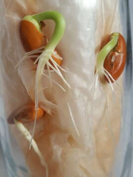 Close up of Red Beans or Kidney Beans  roots growing in a glass.