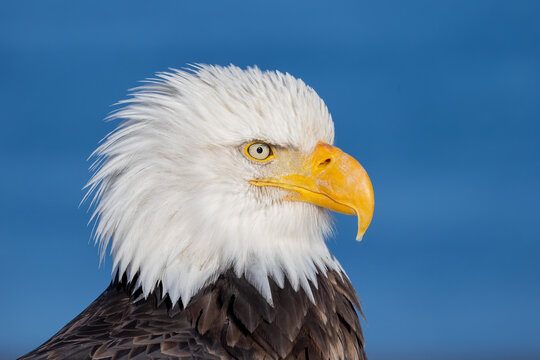 american bald eagle with blue background