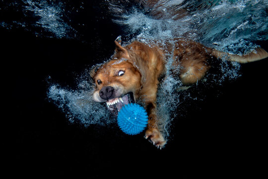 golden retriever dog playing with blue ball under water