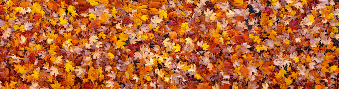 Colorful maple leaves fallen on the Ground - XXXXL