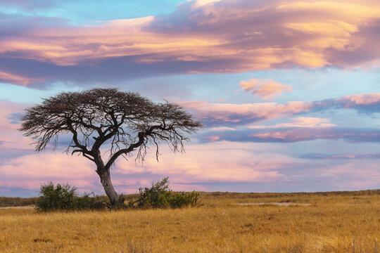 pink african sunset over acacia tree, nature wilderness scene, Africa safari