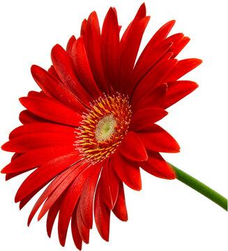 rote Gerbera Blüte Seitenansicht, freigestellt mit transparenten Hintergrund, 2