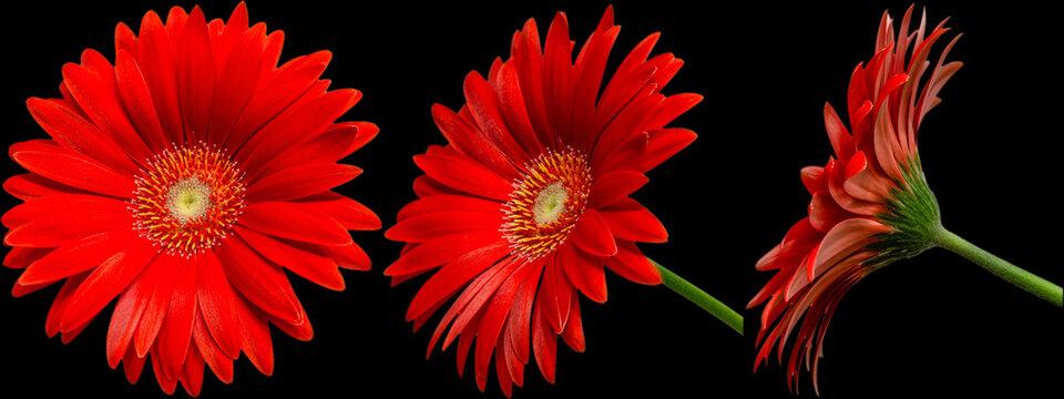 rote Gerbera Blüte Seitenansichten, freigestellt mit schwarzen Hintergrund