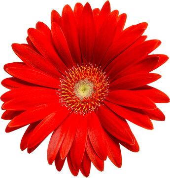 rote Gerbera Blüte Vorderansicht, freigestellt mit transparenten Hintergrund