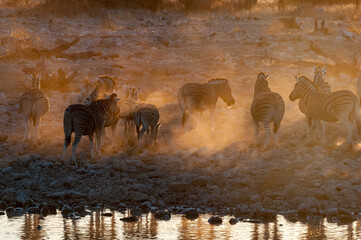 Burchells zebras at sunset