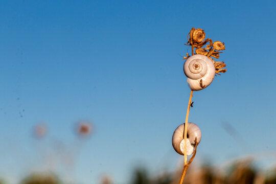 White Garden Snails Theba pisana on dry twig, Provence, Southern France