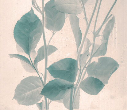 Rose branch. Daguerreotype style. Film grain. Vintage photography. Botanical negative x-rays scan. Canvas texture background. Vintage, conceptual, old retro aged postcard. Sepia, beige, grey, brown