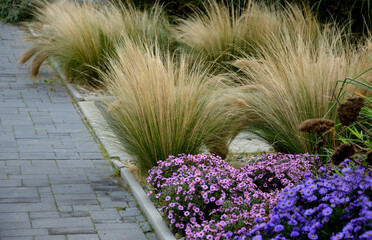 Obraz autumn flowerbed with perennials and grasses in a square with black stone cobblestone tiles, granite curbs autumn purple white and yellow asters and ornamental grasses with sage in a city park - fototapety do salonu
