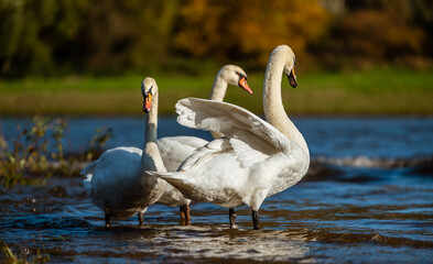 Swans on the lake. Three swans on the river