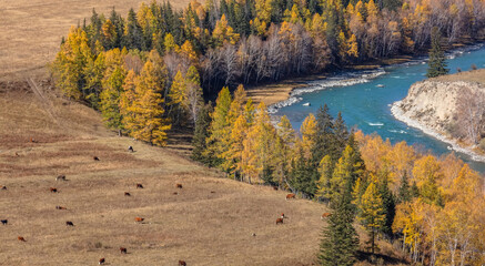 High angle shot of a turquoise river and golden trees on its banks. Cows and horses are on a meadow next to the river. Altai mountains, Siberia, Russia