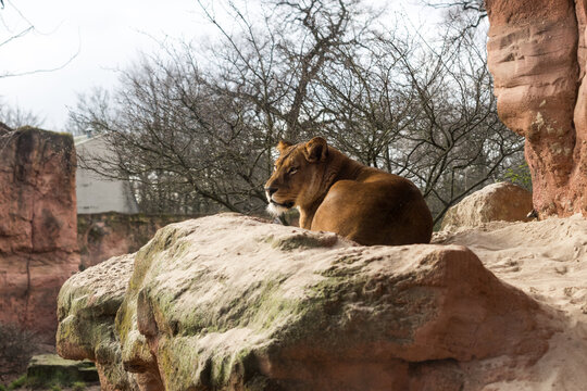 Lion Male at Hanover Zoo