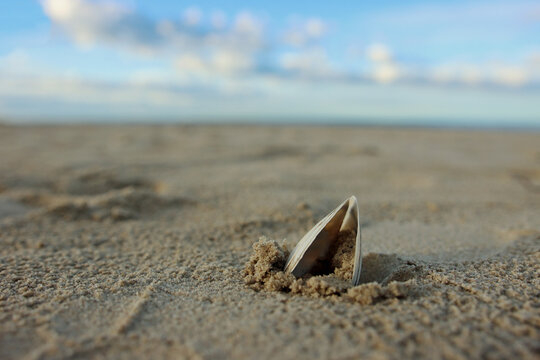 Close up of a open shell stuck in sand at lonely beach in summer with cloudy blue sky in background out of focus