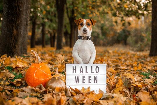 halloween autumn dog jack russell pumpkin