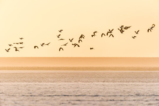 A group of northern lapwings is flying over a frozen farmland during sunset in winter in The Netherlands.