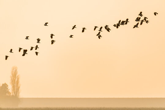 Flying northern lapwings against an orange during sunset in winter in The Netherlands.