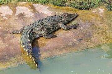The thai crocodile rest on the garden