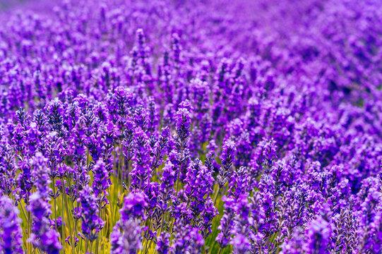 Picking fresh lavender in Sequim, Washington USA