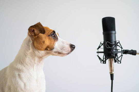 Jack Russell Terrier and professional microphone on a white background. Portrait of a dog giving an interview