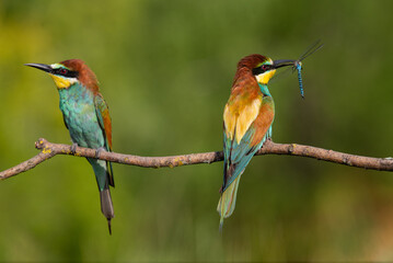 A Golden bee eater sits on a branch on a green background