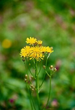 Lapsana communis, the common nipplewort