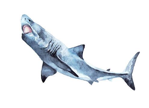 Marine predator, dangerous and ferocious. Watercolor drawing.