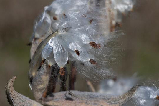 Milkweed seeds blowing in the wind