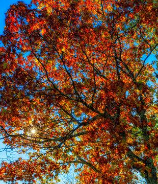 Red Oak Tree In Fall