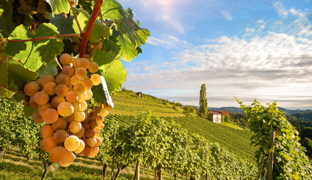Vineyards with grapevine and winery along wine road in the evening sun, Italy Tuscany Europe