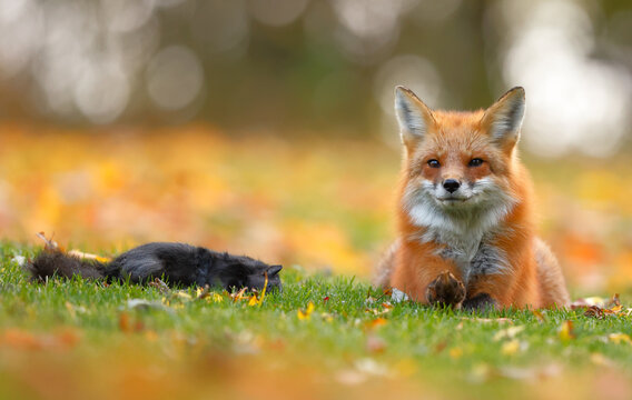 Red fox resting close to its prey