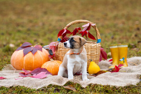 A cute little brown puppy sits in a basket next to a pumpkin. Autumn composition. Red and yellow leaves, fall poster (picture). One dog with sad eyes looks at the camera