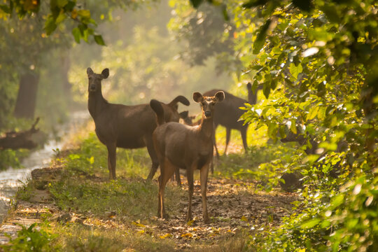 Herd of Sambar deers
