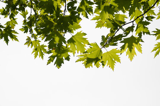 Green plane tree leaves on tree branches with sunshine isolated on white background