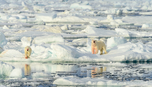Blood stained polar bear with cub (Ursus maritimus), Svalbard, Norway