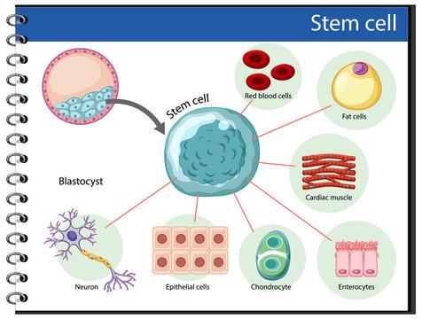 Information poster on human stem cells