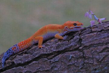A leopard gecko (Eublepharis macularius) is posing in a distinctive style. Wall mural