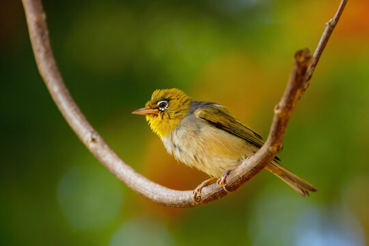 Fiji white-eye (Zosterops explorator) sitting on a tree branch