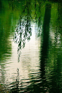 Weeping willow branch under water