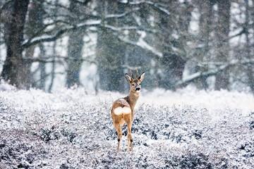 Roe buck in the snow on Dutch heath - Drouwenerzand, Hondsrug, Drenthe, Netherlands.